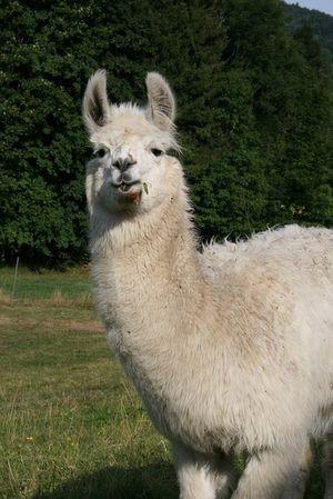 les-lamas-1-43998-158642